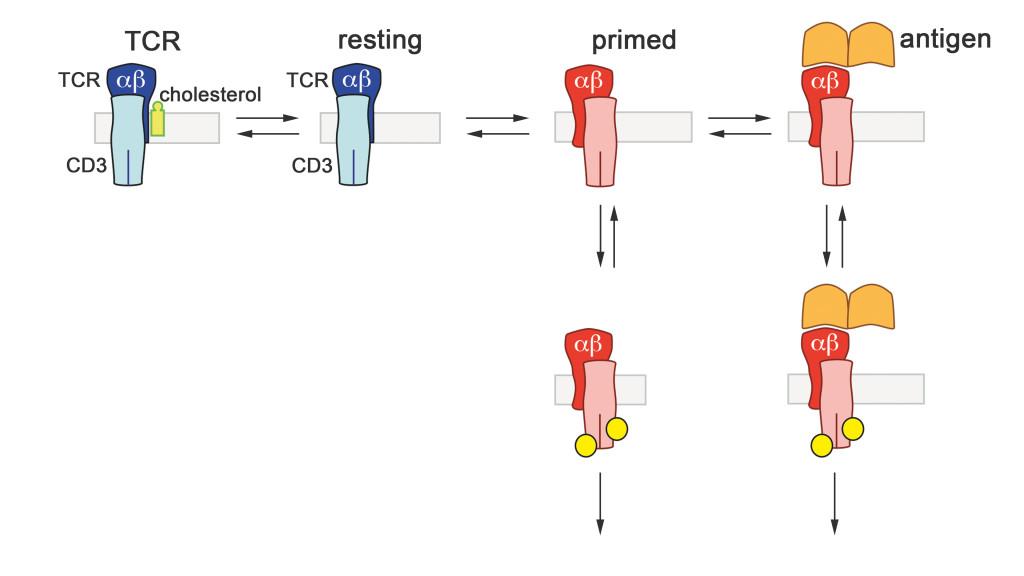 T-Zell-Aktivierung Modell