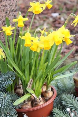 Zwerg-Osterglocken, noch zart vom Winter-Abdecklaub bedeckt