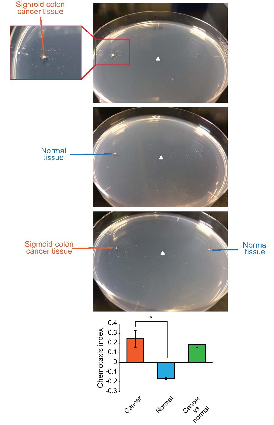 C elegans Chemotaxis assay_Seite_1