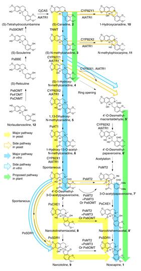 Biosynthese von Noscapine (1) aus Norlaudanosaline (12). Der grüne Pfeil zeigt den im Schlafmohn vermuteten Syntheseweg, blau den Syntheseweg aus in vitro Charakterisierung und gelb den im Artikel Rekonstruierten Syntheseweg in Hefen.