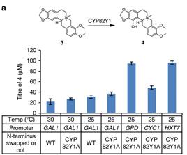 Testung verschiedener Temperaturen, Promoter und N-Termini zur Optimierung des Enzyms CYP82Y1 des Noscapine-Synthesewegs