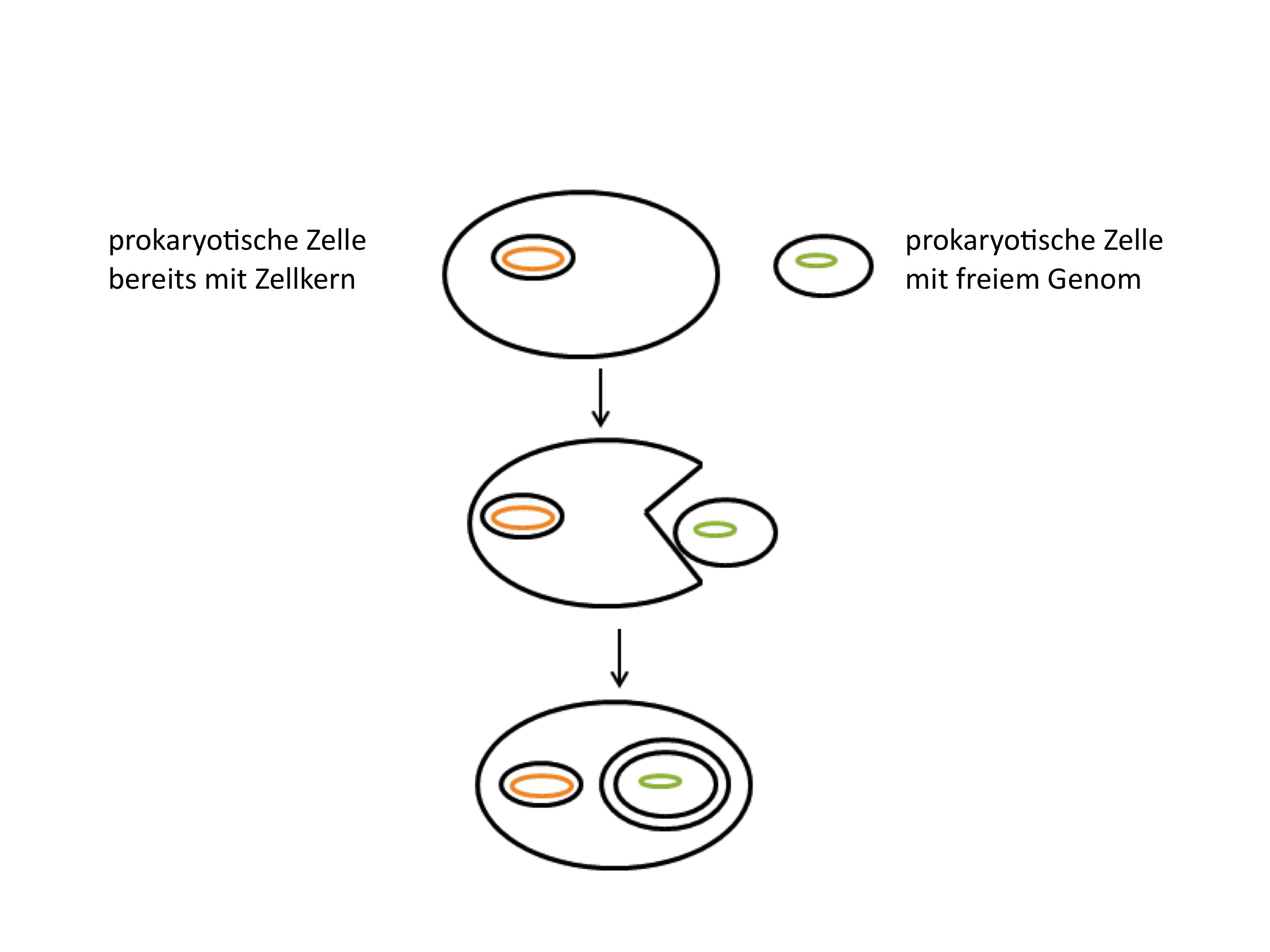 Durch Endozytose sind vermutlich die Doppelmembranen von Mitochondrien und Plastiden entstanden.