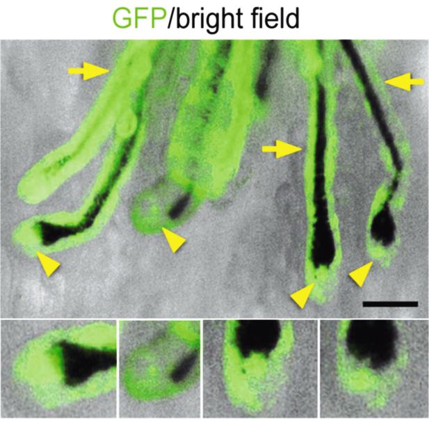 Um erkennbar zu machen, woher die gebildeten Haarfollikel stammen, wurden die transplantierten Zellen so verändert, dass sie grün fluoreszieren würden. Quelle: DOI: 10.1371/journal.pone.0116892