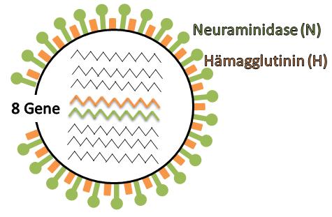 Das Genom der Grippeviren vom Typ A besteht aus acht Segmenten, die u.a. für die Oberflächenmoleküle Hämagglutinin und Neuraminidase kodieren.