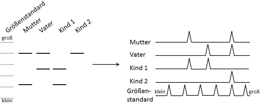 Durch Vergleich der Größen bestimmter Microsatelliten können Verwandtschaftsbeziehungen hergestellt werden.