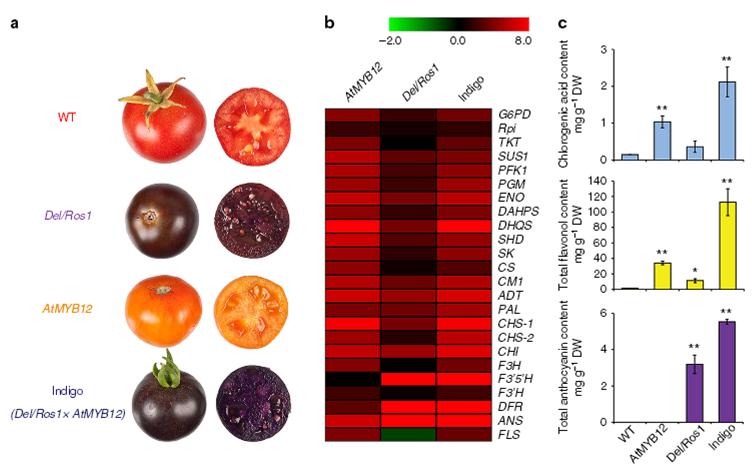 Kreuzung aus AtMYB12 und Del/Ros1 Tomaten, Quelle: DOI: 10.1038/ncomms9635 |
