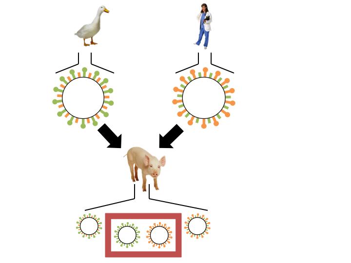Schweine werden sowohl von hochaggressiven Vogelgrippeviren und humanen Grippeviren infiziert. Durch einen Antigendrift können so neuartige hochaggressive Viren entstehen, die Menschen infizieren können.