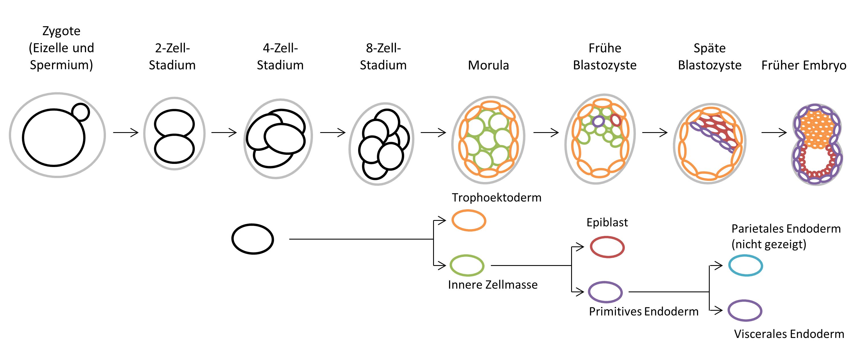 Überblick der frühen Embryonalentwicklung