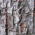 Kiefer mit Schädlingsbefall (Foto: Pixelio)