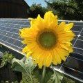Solarzelle mit Sonnenblume (Foto: Pixelio)