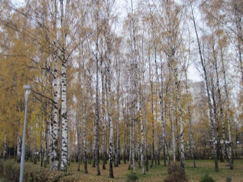 Birken in Korolyov