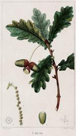Eichenblatt