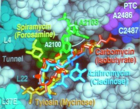 Blick in den Ribosomentunnel. Einige dort bindende Antibiotika sind farbig eingezeichnet