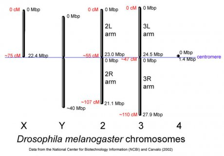 Chromosomenlänge