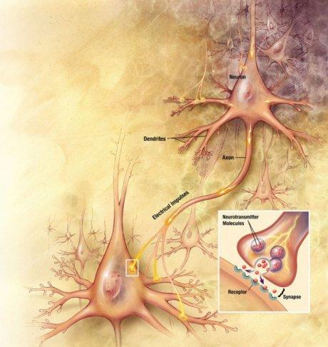 Synapsen Nervenzellen
