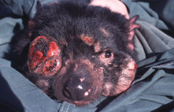 800px Tasmanian Devil Facial Tumour Disease