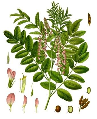 lakritzpflanze