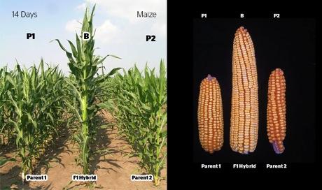 Maize f1 hybrids