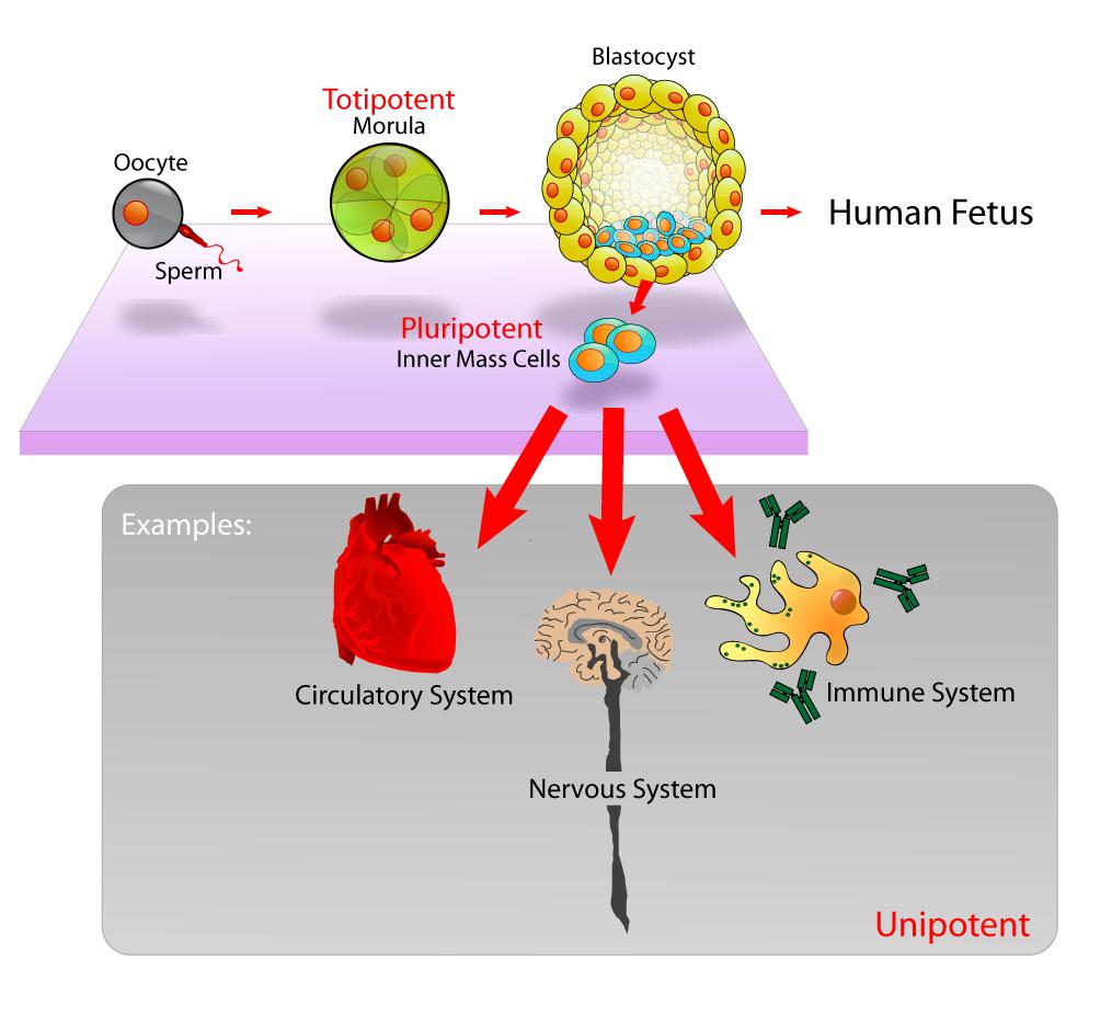gewinnung embryonaler stammzellen 3 wege