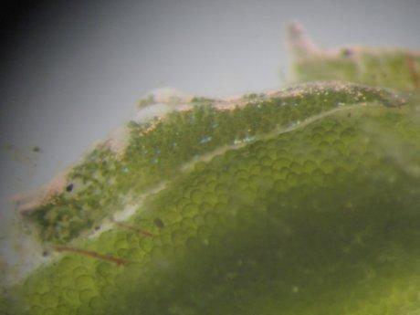 Elysia viridis 1