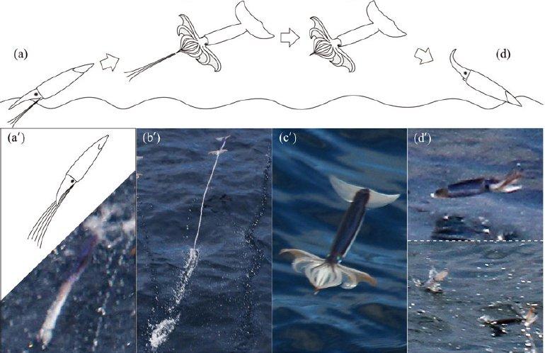 Muramatsu, K., Yamamoto, J., Abe, T., Sekiguchi, K., Hoshi, N., & Sakurai, Y. (2013). Oceanic squid do fly. Marine Biology. doi:10.1007/s00227-013-2169-9